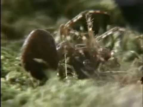 Spiders on Drugs (Hinterland Who's Who)