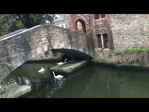 The Swans In Bruges' Canals 2018 Belgium