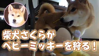 柴犬さくら、ベビーミッキーを狩る!SHIBA INU SAKURA thumbnail