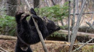 Black Bear Cubs First Attempts to Conquer Treetops | BBC Earth