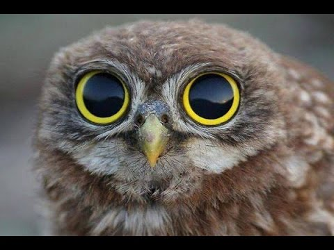 how can you resist those big eyes cutest owl ever youtube