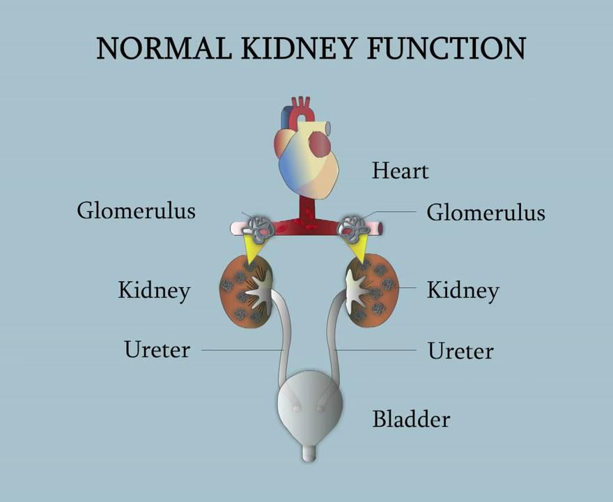 Función normal de los riñones - YouTube