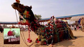 Индия. Часть 2 - Про животных и людей | Живая Планета
