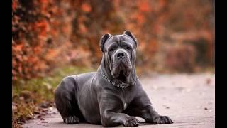 Кане-корсо (Cane Corso) - порода собак