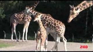 Giraffen Gumle!