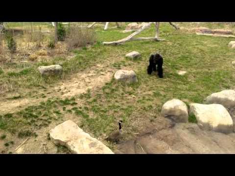 Dangerous Fight: Gorilla vs. Goose [ORIGINAL]