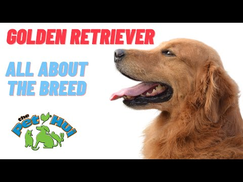 All About the Breed: Golden Retriever