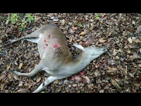 Red deer hunting   Driven Hunt