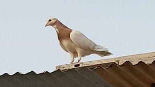 Zard Kabootar Utra Chaht per - Kabootar Pakra - Pigeons Catching video - Karachi Pigeons