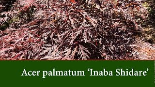 Acer palmatum Inaba Shidare - Best Red Laceleaf Weeping Japanese Maple for full sun.