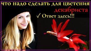 Декабрист не цветёт: что делать и почему это может происходить!!!