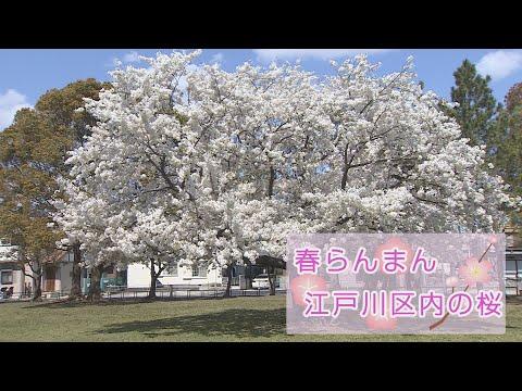 春らんまん江戸川区の桜