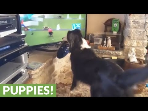 Border Collie cheers on dog show competition