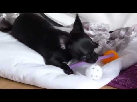 suitable-toys-for-black-chihuahua-puppy-plays-with-cat-toys.