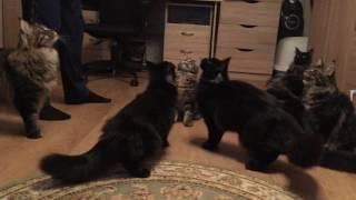видео купить котенка мейн кун