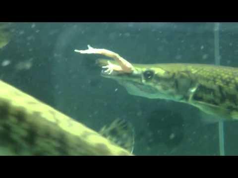 Cá sấu PLT/Hoả Tiễn ăn nhái