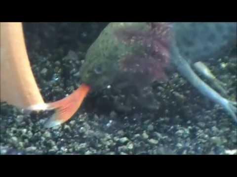 Axolotl Eating A Fish