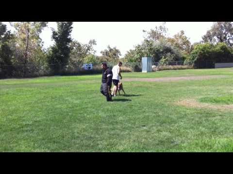 Protection Dog Jake Working on Bite Training Scott