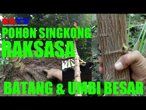 Pohon Singkong Raksasa Batang Dan Umbi Besar Youtube