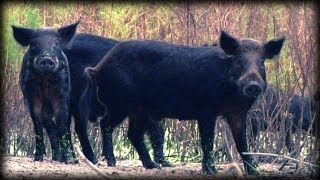 Dangerous Invaders 17 - Wild Pig Invasion - Dangerous Animals