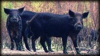 Dangerous Invaders 17 - Wild Pig Invasion - Dangerous Animals