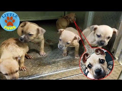 People Rescue A Litter Of Pit Bulls, Notice That One Of Them Has 'Cinnamon Roll' Ears