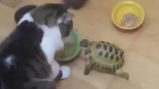 Видео приколы с кошками!Черепаха нападает на кошку!Прикол!