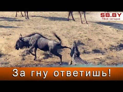 Вопрос: Чем интересны антилопы ориби?