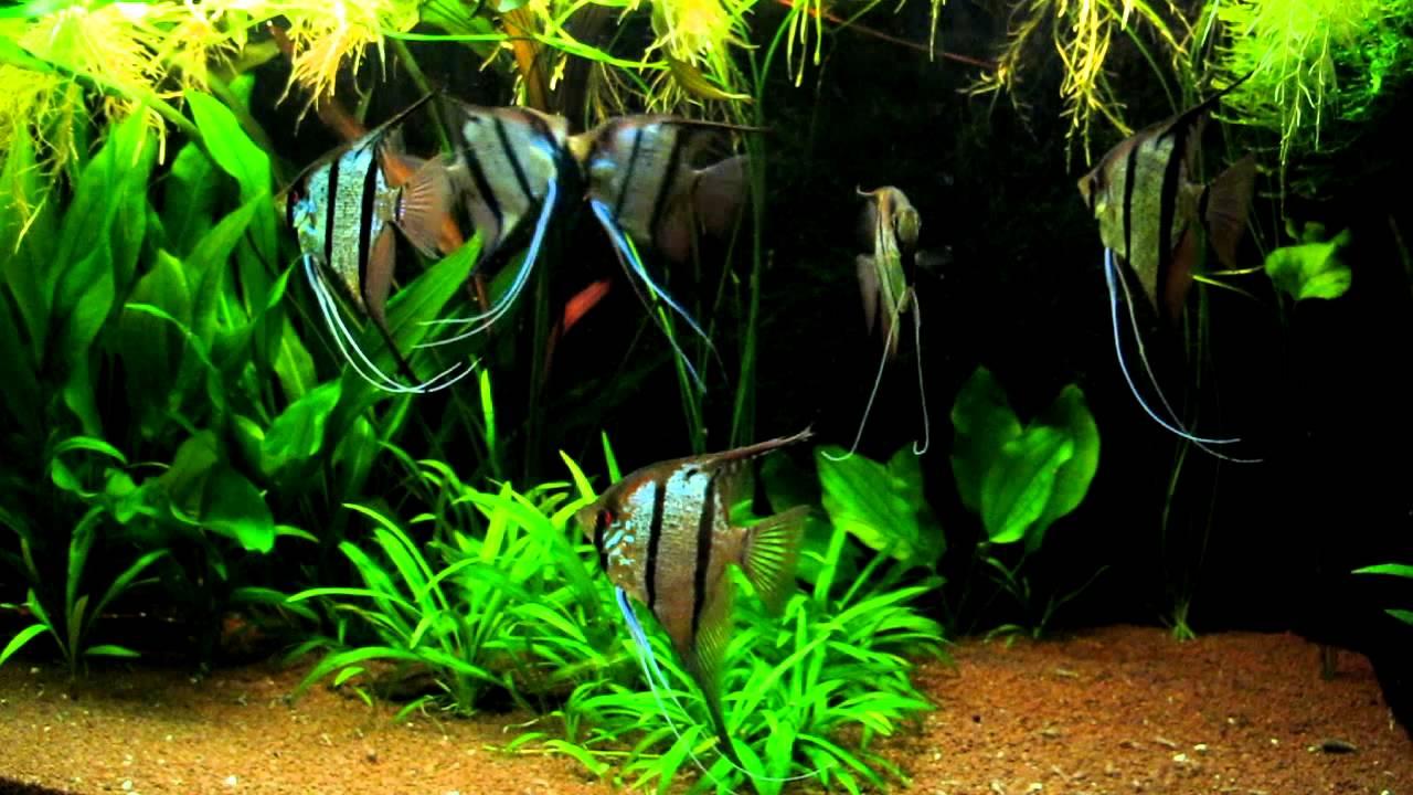 Pterophyllum sp rio nanay peru altum youtube for Peru altum skalar