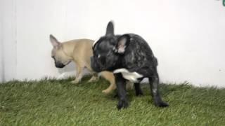 Bullcanes Bulldog Puppies For Sale Yoda - Zelda