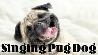 Pug Dog Singing