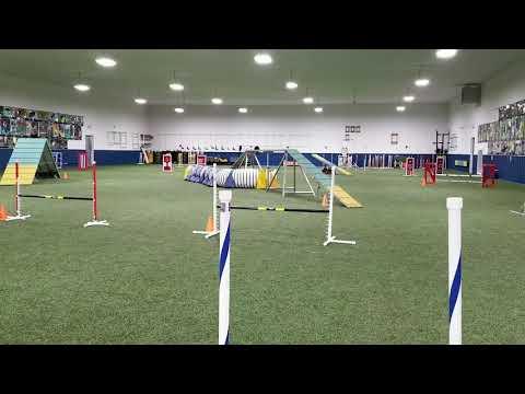 Phenix, kerry blue terrier, agility practice, last run 3-12-2019
