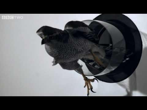 Goshawk Flies Through Tiny Spaces in Slo-Mo! - The Animal's Guide to Britain, Episode 3 - BBC Two