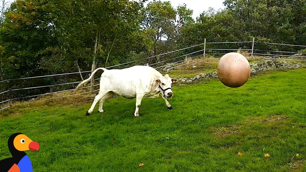 Cow Plays Fetch Just Like A Dog | The Dodo