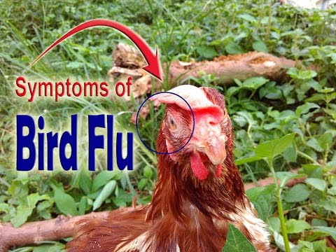 Avian Bird Flu, Bird flu symptoms in chickens, Symptoms of bird flu in chickens, POULTRY DISEASES