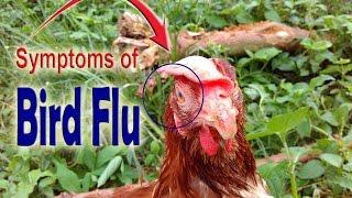 avian bird flu bird flu symptoms in chickens symptoms of bird flu in chickens poultry diseases