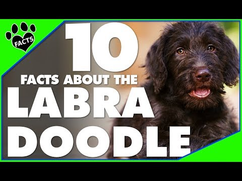 Labradoodle Dogs 101 Interesting Facts Hybrid Breed - Animal Facts