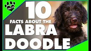 Labradoodle Dogs 101  Labrador Retriever Poodle Mix