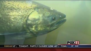 Salmon Run in Kewaunee
