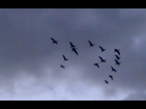 The Shooting Show - action-packed Orkney goose shooting