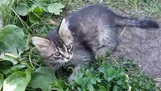 Отдам пушистого котенка, кошечка, возраст около 2-х месяцев. г Красноярск