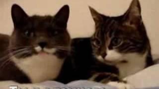 Кошачий разговор и перевод.flv