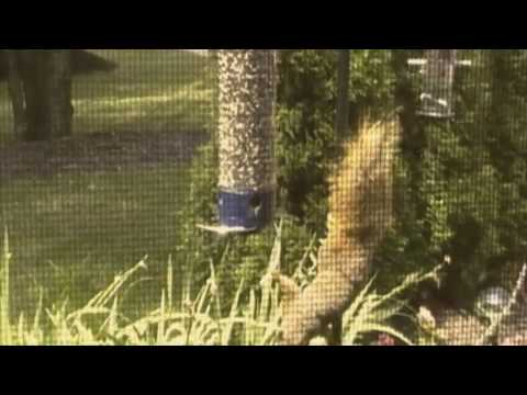 Squirrel Meets Squirrel-proof Bird Feeder