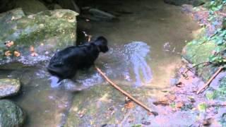 A Dog's Determination: Flat-coated Retriever vs. Big Stick