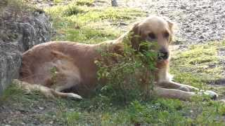 Golden Retriever Baris Zur Adoption