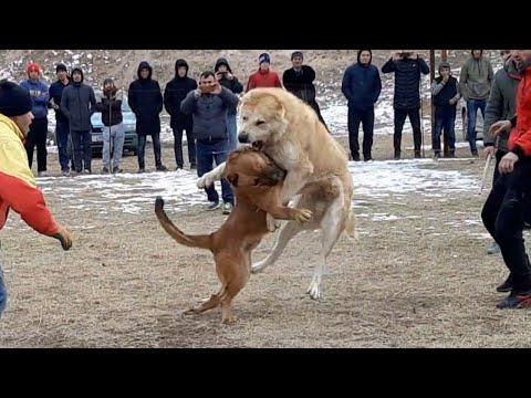 сагчанги 2020 варзоб 👇👇 Прогулка бойцовской собаки Алабай Барон