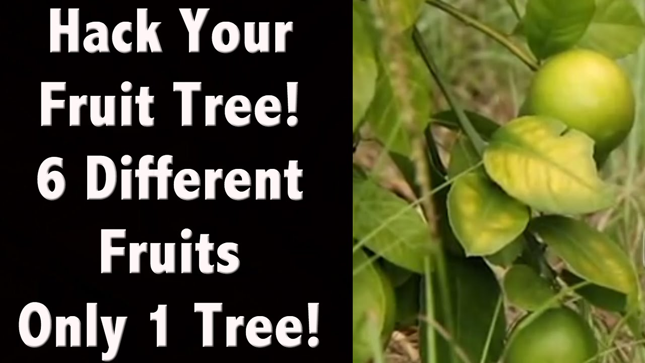 6 fruits Just One Tree! My Amazing Cocktail Tree! Life Hacks Tips ...