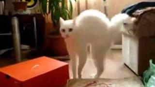 Кот ходит на двух ногах