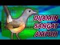 Kretekan Murai Batu Memancing Emosi Suara Kretekan Murai  Mp3 - Mp4 Download