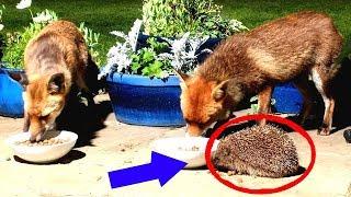 Девушка кормила лис и увидела рядом ежа. Она думала, что ему конец...